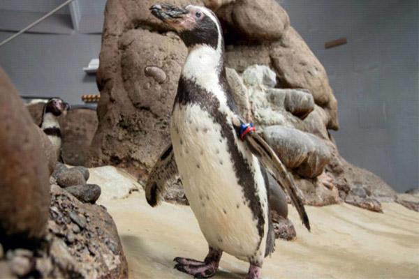 world's oldest penguin has died